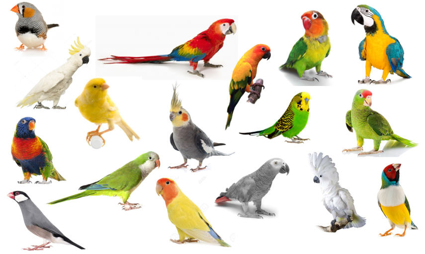 Identify the Pet Birds Quiz - By palmtree